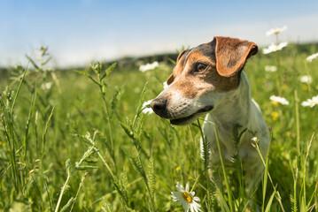 Hund sitzt in einer Blumenwiese - Jack Russell Terrier 10 Jahre alt