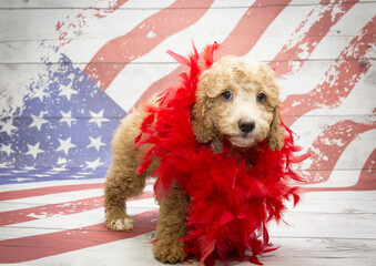 Miniature Goldendoodle on American flag background