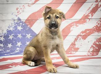German Shepherd on American flag background