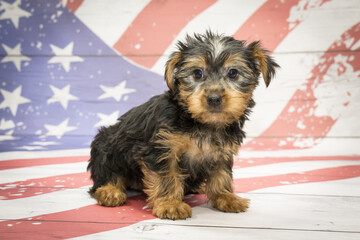 Yorkshire Terrier on American flag background