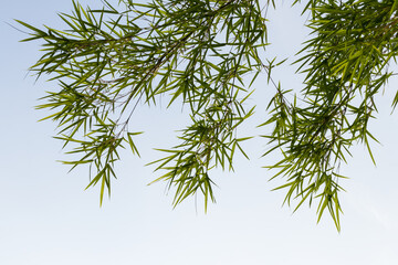 Beautiful green bamboo leaves with sky.