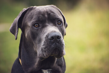 Portrait of a big dark gray cane corso