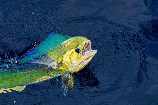 Colorful head of Mahi Mahi