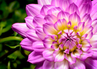 Dahlia Beauty, pink, white, and yellow highlights close-up