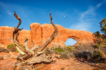 Sculptural dormant tree in front of North Window in Arches National Park with moon rising.