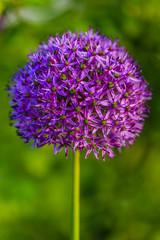 Flower garlic in the garden.