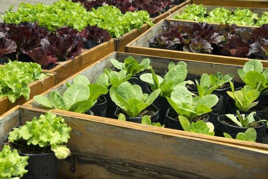 Fresh lettuce growing in Raised Beds