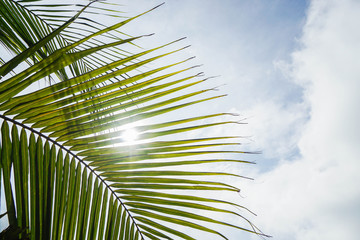 coconut leaf with sunlight in blue sky