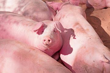 Rosa Schweinchen im Stall