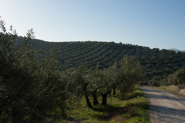 Idyllic Andalusian landscape with olive trees in Spain on a day in spring