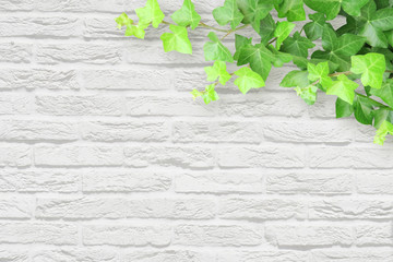 ivy white wall background