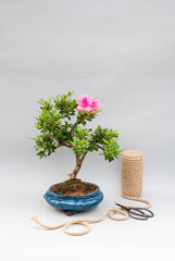 Blooming bonsai azalea on a light gray background with tools to care for indoor plants.