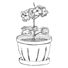 Geranium flower in a pot hand drawn sketch vector illustration