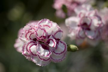 Dianthus Grans Favourite, White & Mauve Flower
