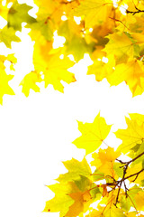 Autumn maple leafs on a white background