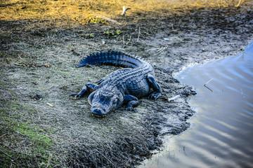 Alligator in the Myakka River Florida