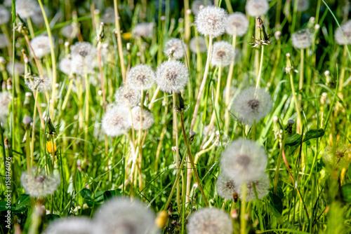 Fluffy dandelions in summer on green grass