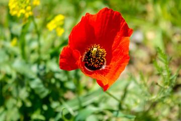 Red steppe poppy