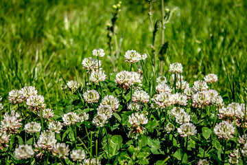 Flowers of clover