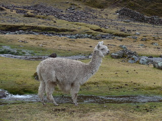 Alpaca grazing in an open meadow with small streams flowing through.