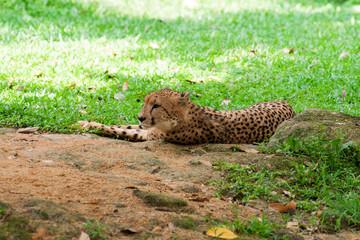Cheetah lies on the grass