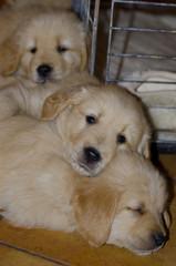 Pile of Golden Retriever Puppies