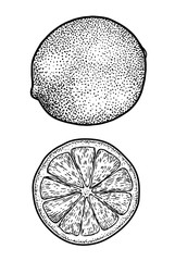 Lime illustration, drawing, engraving, ink, line art, vector