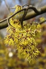 Fleurs d' Hamamelis virginiana