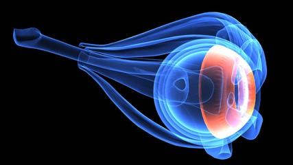 3d illustration human body eye anatomy