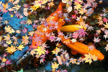 Beautiful view of Japanese Koi Carp fish & colorful maple leaves in a lovely pond in a courtyard garden in Kyoto Japan ~ A vibrant image of Chinese Fancy Carp fish swimming merrily among fallen leaves