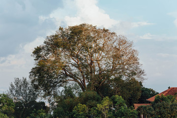 Big tree with golden sunlight at evening from Penang Hill at George Town. Penang, Malaysia.
