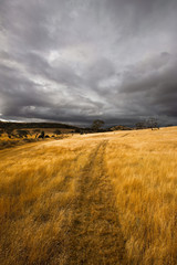 path in yellow tall grass with a dark and stormy sky