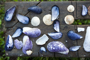 Purple mussels shells and sand dollars on a rustic bench of distressed wood.