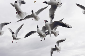 Group of black-headed seagull on sky background