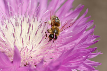 Macro photo of a bee close up. A bee collects nectar from flower Asters. Bee on a flower. Macro photo of an insect in summer Sunny day.