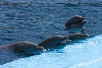 Photo sur Aluminium Dauphins Dolphin on show