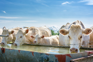 French countryside. Some cows drink water at a drinking spot on the pasture.