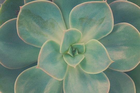 One fresh succulent green plant macro close up background, retro toned, kinfolk style