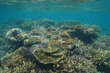 Healthy coral reef underwater with soft and stony corals in shallow water, lagoon of Grande-Terre island, New Caledonia, south Pacific ocean