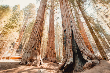 Tall Grove of Sequoias