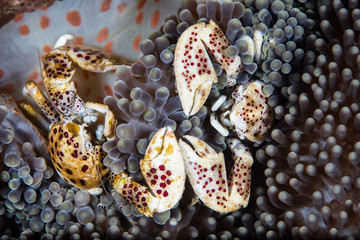 Porcelain Crabs and Symbiotic Anemone