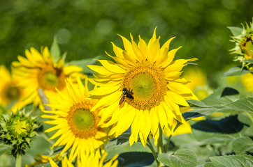 Sunflowers attracted by bees and other working insects