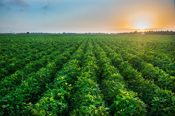 Green bean crop field on the farm before the harvest at sunset time. Agricultural industry farm groving genetically modefided food on field. Wall mural