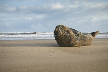 Grey Seal male in the shore break (Halichoerus grypus) at Donna Nook UK