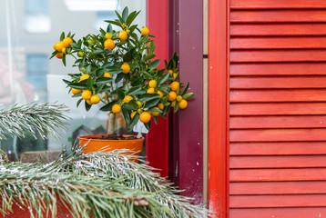 Lemon tree with lemon and sprig of pine on the window