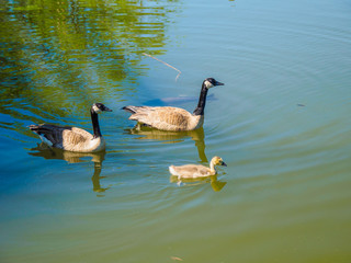 Family of Canada geese in the lake