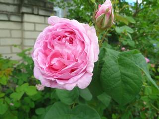 Beautifully blooming rose