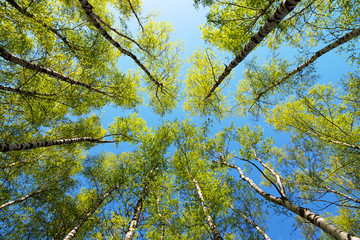Green birchwood in a sunny day, the bottom view