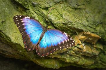 Blue Morpho Butterfly (Morpho peleides).