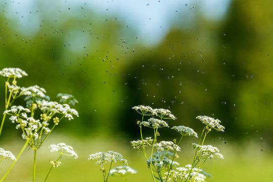 Parsley flowers with flies swarming